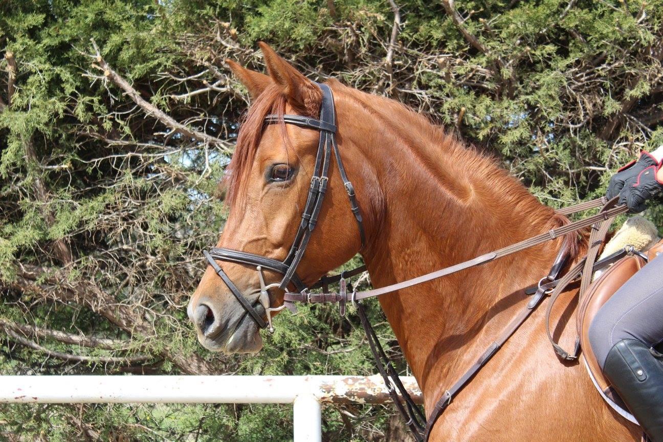 Hunter Jumper Horses For Sale North Texas Equestrian