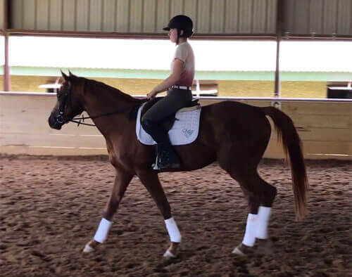 Warmblood Horses For Sale North Texas Equestrian Center